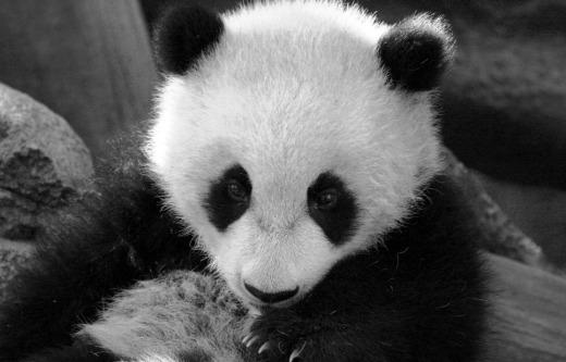 melestarikan panda